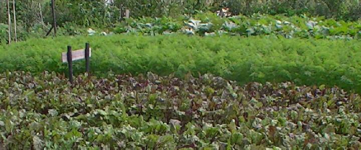 Wisselteelt: op de voorgrond wortelgewassen (rode bieten & winterwortelen), op de achtergrond vruchtgewas (courgettes).