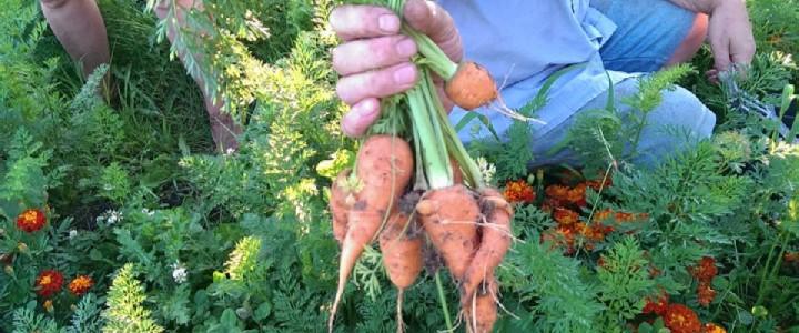 Bij het oogsten van wortelen hangt de romantiek in de lucht.