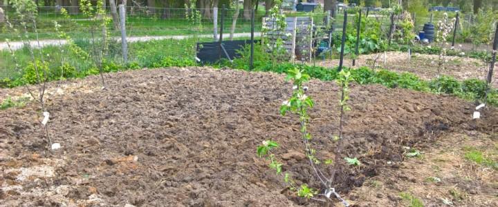 fruitbomen - de aanplant van de jonge appelboompjes (© André Wonink).