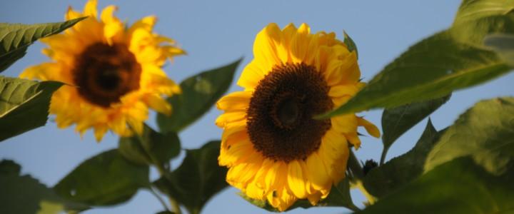 Zonnebloemen op de moestuin (Foto © Nico Stroes).