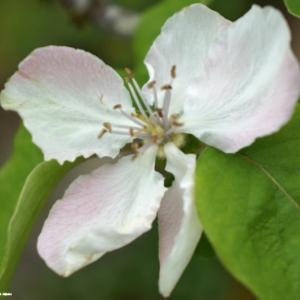 Bloesem van de Wilde appel.