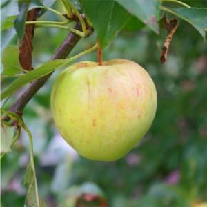 Vrucht van de Wilde appel.