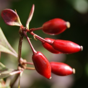Vruchtjes van Zuurbes.