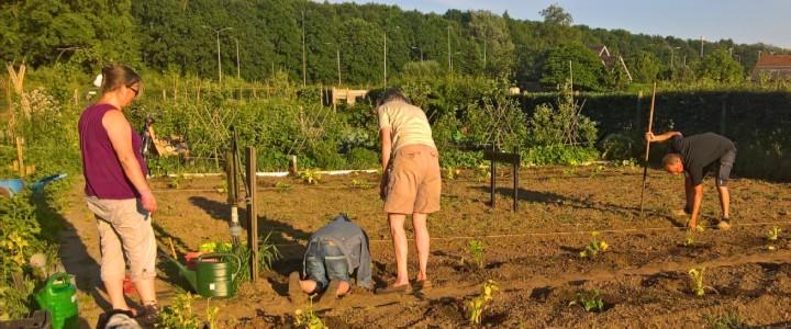 Werkkalender - het uitplanten van de courgettes in mei (© André Wonink).