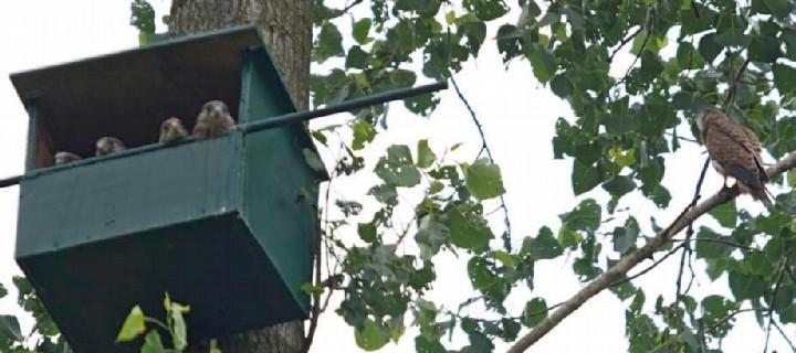 Het eerste jong heeft net het nest verlaten en de andere vier kijken over de rand toe (© Susanne Vedder)
