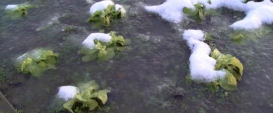 De laatste sla onder water en bevroren.