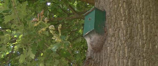 Nest van eikenprocessierupsen
